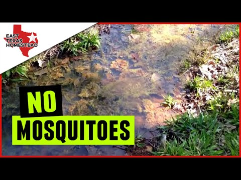 Goldfish Eating Mosquito Larvae in Swale Update | Organic Mosquito Control.