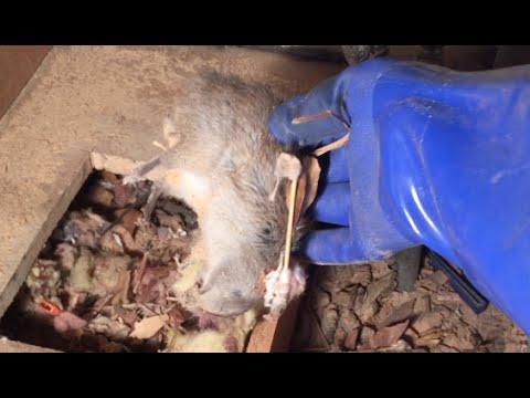 Dead Rat Under Bathroom Vanity