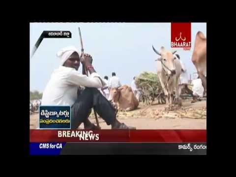 Acute Drought Forces Telangana Farmers To Sell Cattle|| adilabad || 01-06-2016 || Bhaarattoday