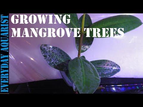 How To Grow Mangrove Tree In Your Aquarium