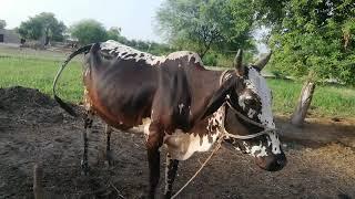 Nagra Breeder For Sale In Pakistan - Nagra Bakra On Youtube