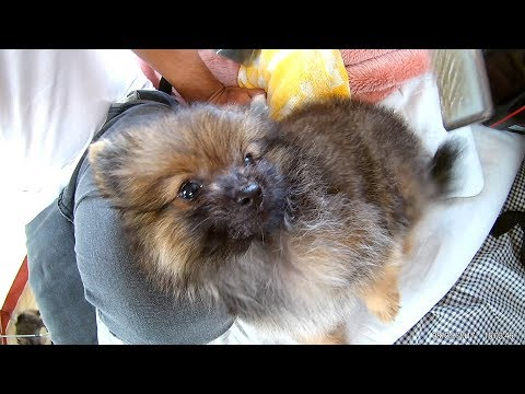 Angry Pomeranian puppies while grooming