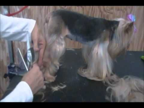 Yorkie Pet Grooming - How to Give a Yorkie a Summer Cut