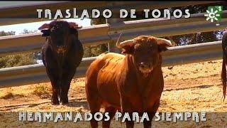 Traslado De Toros Por Edades Y Selección De Sementales De Apolinar | Toros Desde Andalucía
