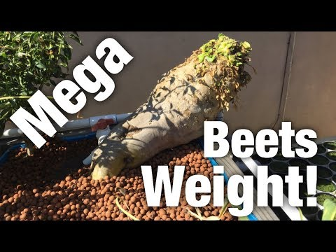 Mega Beets Weight! Winner in Description!!!