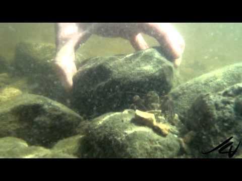 Crayfish -- also called crawfish or crawdads - British Columbia -  YouTube