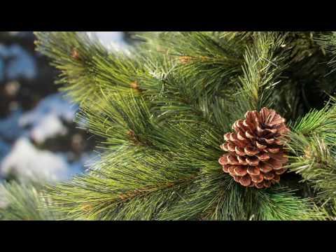 Puleo Nordic Pine