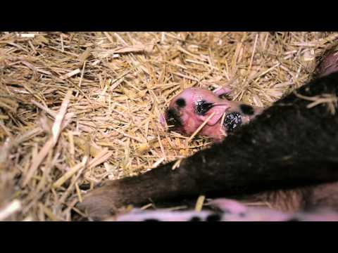 Micro Pig Birth at Kew Little Pigs London