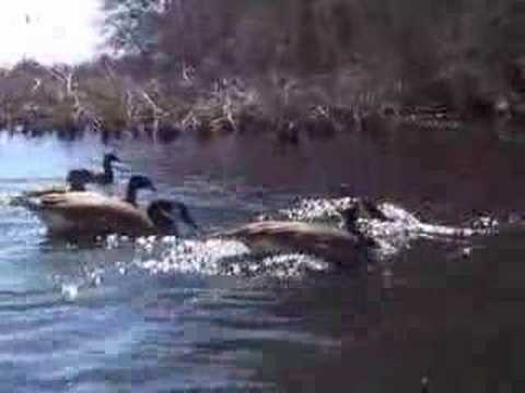 Ducks, geese and a swan