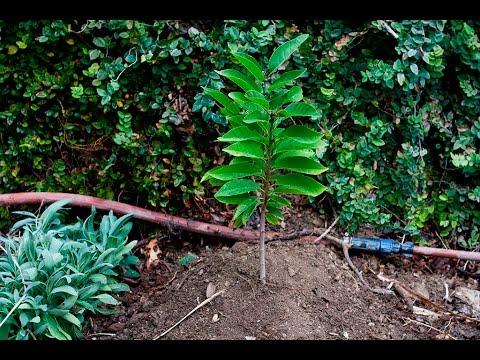 PLANTING: 1-Year-Old Sugar Apple Tree