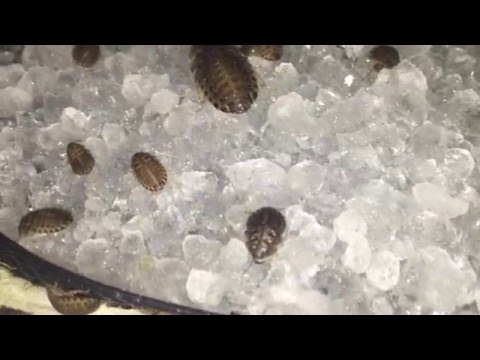 Dubia roaches feeding on water crystals