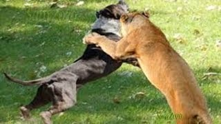 Download Spectacular attacks of wild animals. Fight for survival. Fighting animals Video