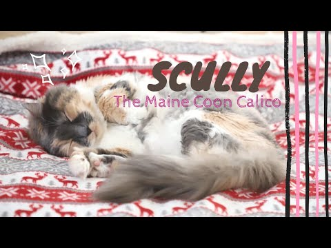 Scully: The Maine Coon Calico