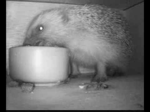 hedgehog feeding in box