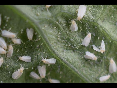 I HATE Whiteflies!!!
