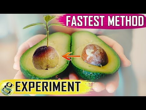 AVOCADO SEED GROWING: Fastest Hack with Results | How to grow Avocado from Seed germination