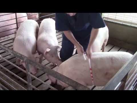 Weighing pigs without a scale: A new tool for measuring the heart girth of pigs