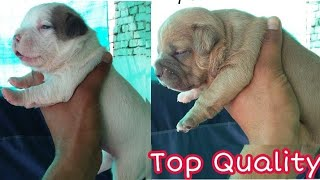 Xl Bully Puppies For Sale Near Me Videos 9tubetv