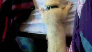 The Ollster Climbing My Bed - Funny Ferret