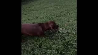 Cute puppy sausage dog scared of dandelion