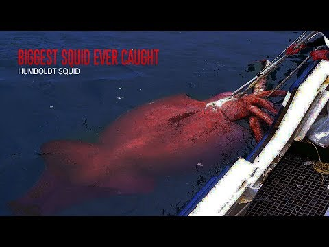 Top 5 Biggest Squids Ever Recorded