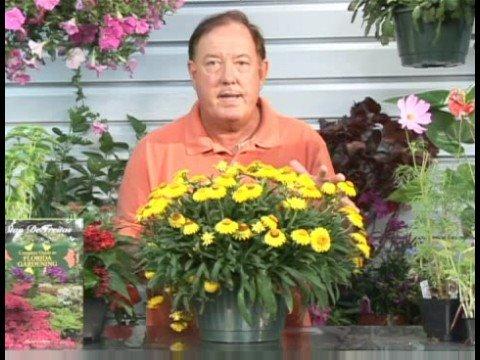 Growing Flowering Plants : Growing Daisy Flowers