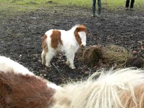 Charm the Shetland Pony