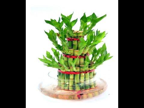 How to grow lucky bamboo || lucky bamboo care & tips