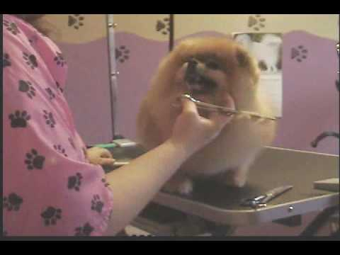 Grooming the Pomeranian (Breed trim) Part 3