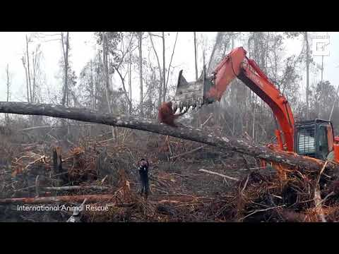 Xxx Mp4 Sadness As An Orangutan Tries To Fight The Bulldozer Destroying Its Habitat 3gp Sex