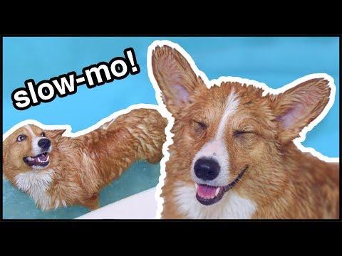 Corgi Puppy Bath Time: In Slow-Mo!