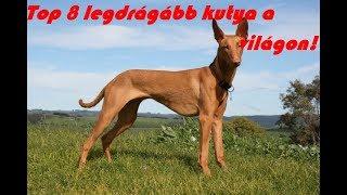 Top 8 Legdrágább kutya a világon!  a világ legdrágább kutyája
