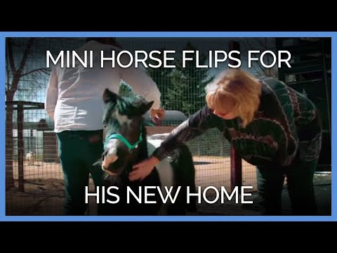 Disabled Mini Horse Flips for His New Home