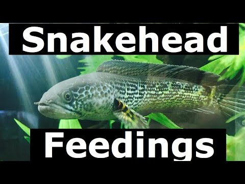 Aquarium Snakehead Jumps a FOOT out of Water