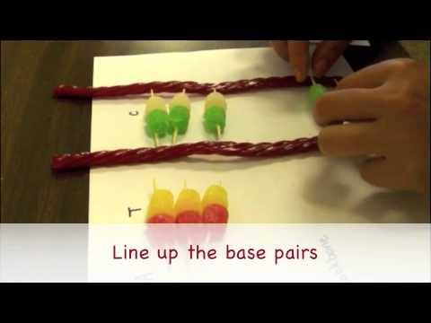 Gumdrop DNA Activity