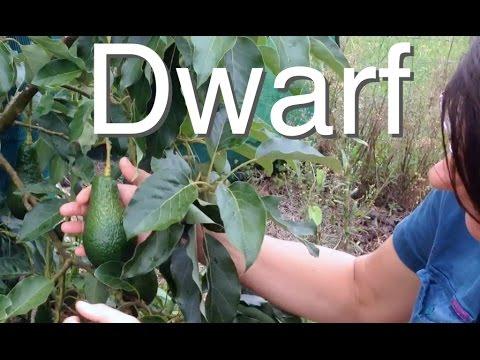 Dwarf Avocado Tree but Large Fruit - Grafted Pinkerton