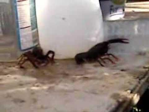 real rock lobsters 2