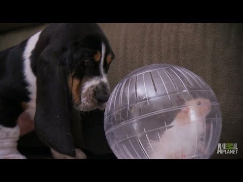 Max the Basset and Dot the Hamster | Too Cute!