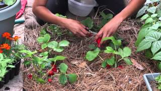 How to Know When Strawberries Are Ripe to Pick : The Chef