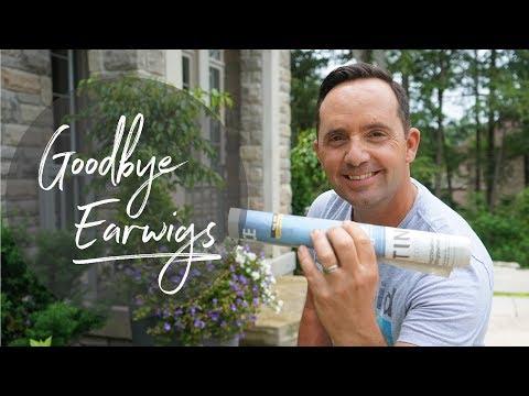 Goodbye Earwigs!