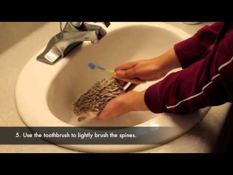 How To/How I Bathe My Hedgehog
