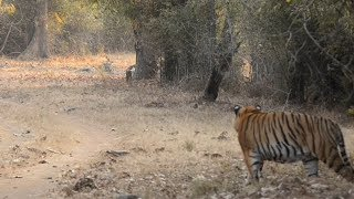 Download Male tiger spots an intruder in his territory. Video