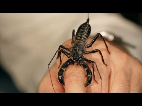 6 Vinegarroon Scorpion Facts & Care Tips | Pet Tarantulas