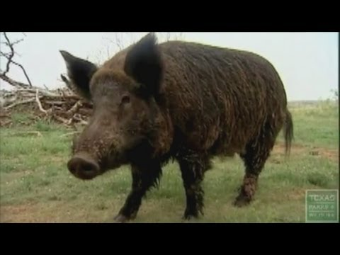 NM, USDA want to get rid of feral hogs