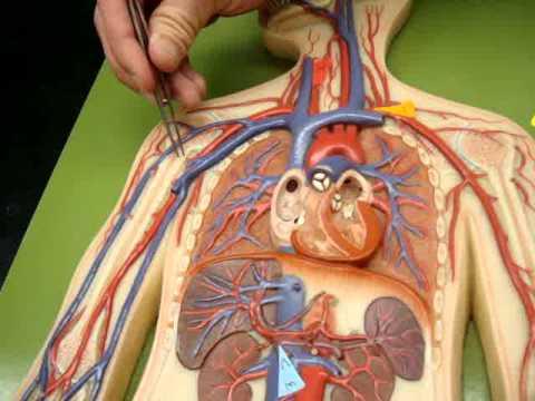 Cat Blood Vessels Arteries Veins By Jez Morcilla Aricelli