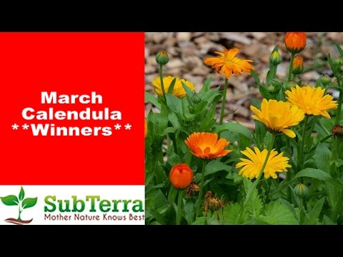 March Calendula Winners