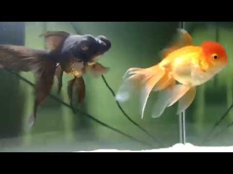 goldfish happy swiming