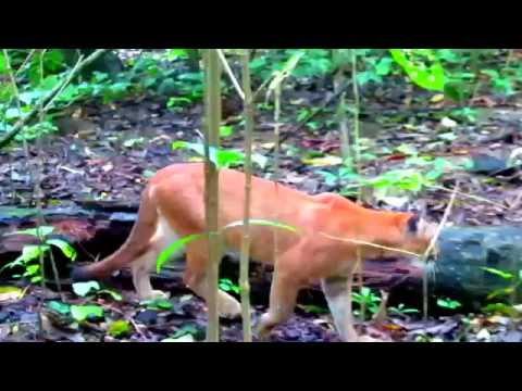 Puma concolor  costaricensis - Parque Nacional Corcovado