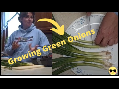 Growing Green Onions Indoors - Easy and Fun