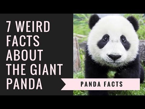 Giant Panda Facts | Interesting Facts About Pandas